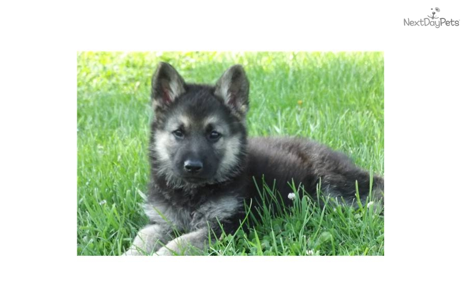 Wolf Hybrid puppy for sale near Omaha / Council Bluffs ...