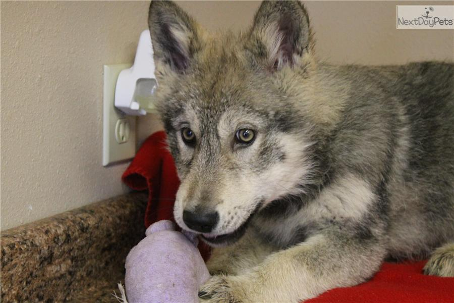 Wolf Dog Breeds For Sale
