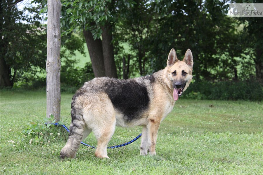 Timber wolf, 1/2 German Shepherd female puppy