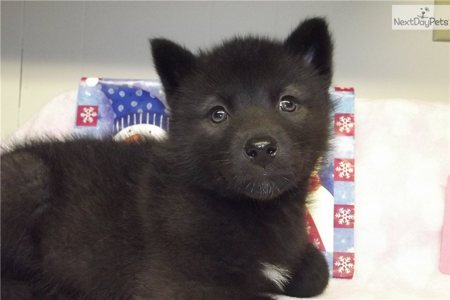 Black wolf dog hybrid puppies for sale