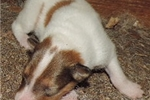 Picture of 5-White, w/Sable  Female - AKC Collie-rough coat