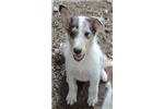 Picture of 1Blue Merle/White Male - AKC Collie - smooth coat