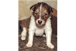 Picture of 1-Sable/White Female - AKC Collie