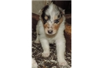 Picture of 2-Blue Merle/White Male - AKC Collie