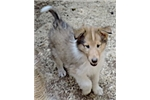 Picture of 1-Sable/White Male - AKC Collie - rough coat