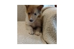 Picture of 1-Sable/White Female - AKC Collie - rough coat