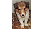 Picture of AKC Collies for sale