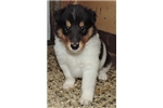 AKC Collies for sale | Puppy at 8 weeks of age for sale