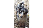 Picture of Shollie - Collie/Shepherd Mix Male - Sugar/Teddy