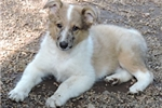Picture of Shollie - Collie/Shepherd Mix Female -Brandi/Sonny