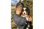 Picture of AKC BERNESE MOUNTAIN DOG