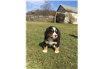 Picture of AKC, OFA BERNESE MOUNTAIN DOG