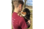 Picture of AKC, BERNESE MOUNTAIN DOG