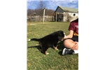 Picture of AKC BERNESE MOUNTAIN DOG,