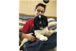 Picture of AKC, OFA NEWFOUNDLAND