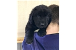 Picture of AKC NEWFOUNDLAND