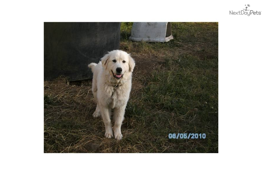 Great Pyrenees Puppy for Adoption: Guard Dog - 4ba4df45-3a62
