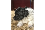Picture of Female Black/White AKC Female Toy Poodle