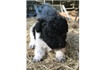 Picture of Male Black/White AKC Toy Poodle Puppy