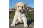 Picture of Cruz-Adorable Goldendoodle Male