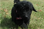 Picture of Gizmo-Adorable Goldendoodle Male