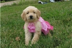 Picture of Reece-Adorable Goldendoodle Female