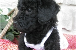 Boxerdoodle for sale