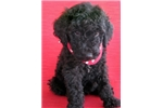Picture of Jasper-Adorable Goldendoodle Male