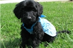 Picture of Emma-Adorable Goldendoodle Female
