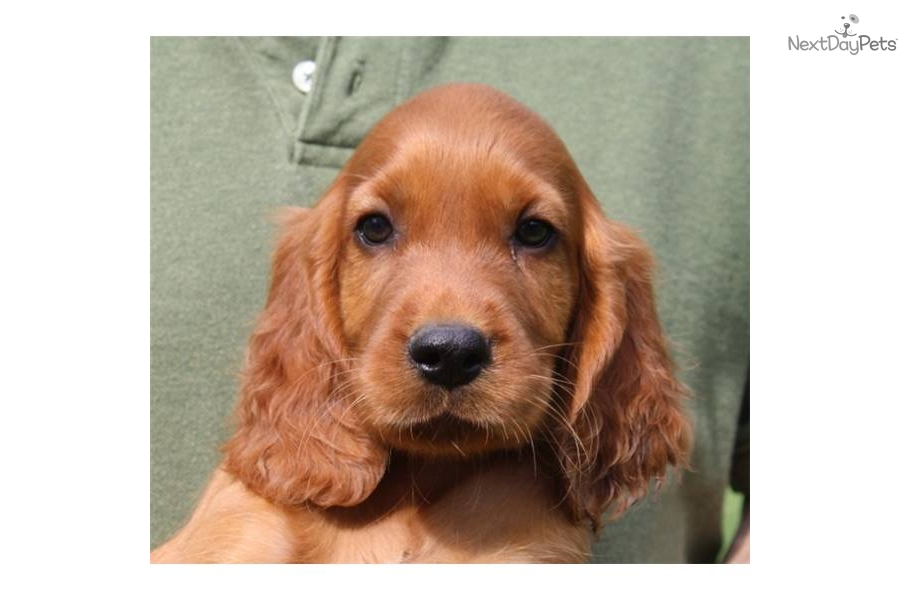 Irish Setter Puppies for Sale in New Jersey - DogsNow