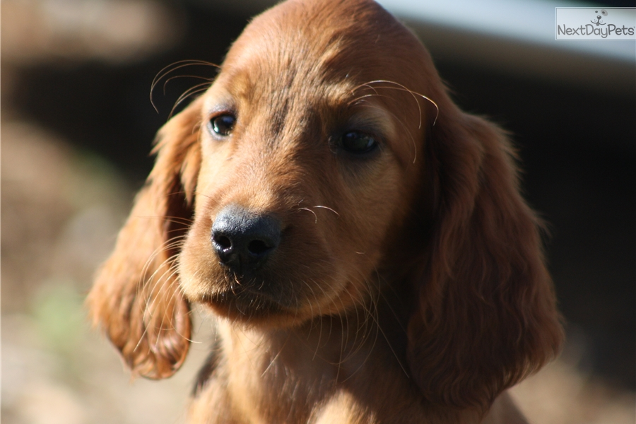 Irish Setter Puppies for Sale from Reputable Dog Breeders