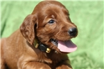 Picture of Goldie, a 5 week old Irish Setter in Madison, IN