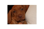 Picture of a Vizsla Puppy