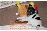 Picture of AKC Toy Fox Terrier Male:  Trout