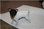Picture of AKC Toy Fox Terrier Female:  Minnow