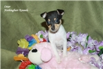 Fox Terrier, Toy for sale