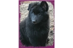 Picture of Female Belgian Sheepdog, So sweet!
