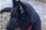 Belgian Sheepdogs for sale