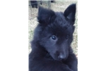 Picture of a Belgian Sheepdog Puppy