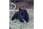 Picture of Female Belgian Sheepdog
