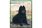 Picture of Gorgeous Female Belgian Sheepdog Puppy