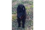 Picture of Male Belgian Sheepdog