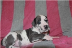Picture of AKC 100% European Blue Harlequin Male