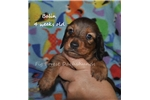 Picture of Balin- red longhair male dachshund puppy