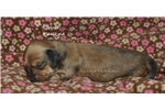 Picture of Hope- red shorthair female dachshund puppy