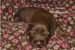 Picture of Hazel- red shorthair female dachshund puppy