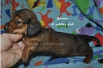 Picture of Baron- red longhair male dachshund puppy