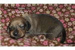 Picture of Haden- red shorthair male dachshund puppy