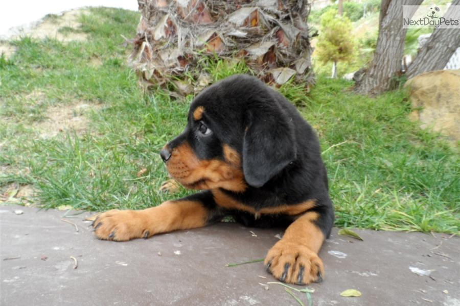 how to get a free rottweiler puppy