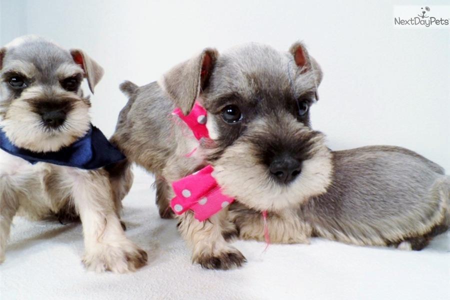 Female Mini Schnauzer Puppy
